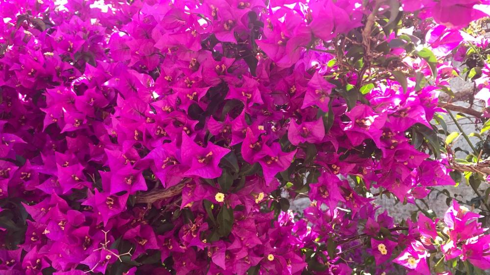 SageJoan_Kos_Flowers