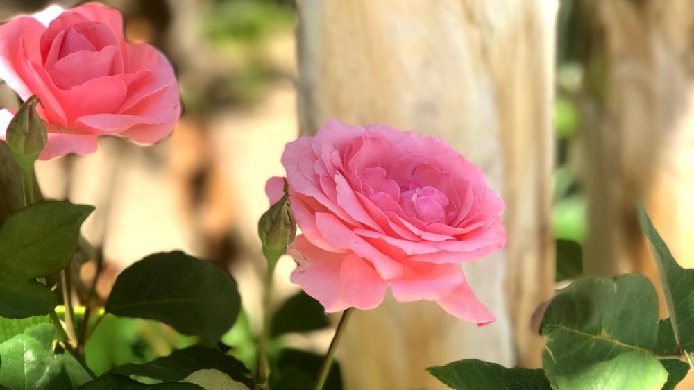 SageJoan_Kos_Rose_Pink