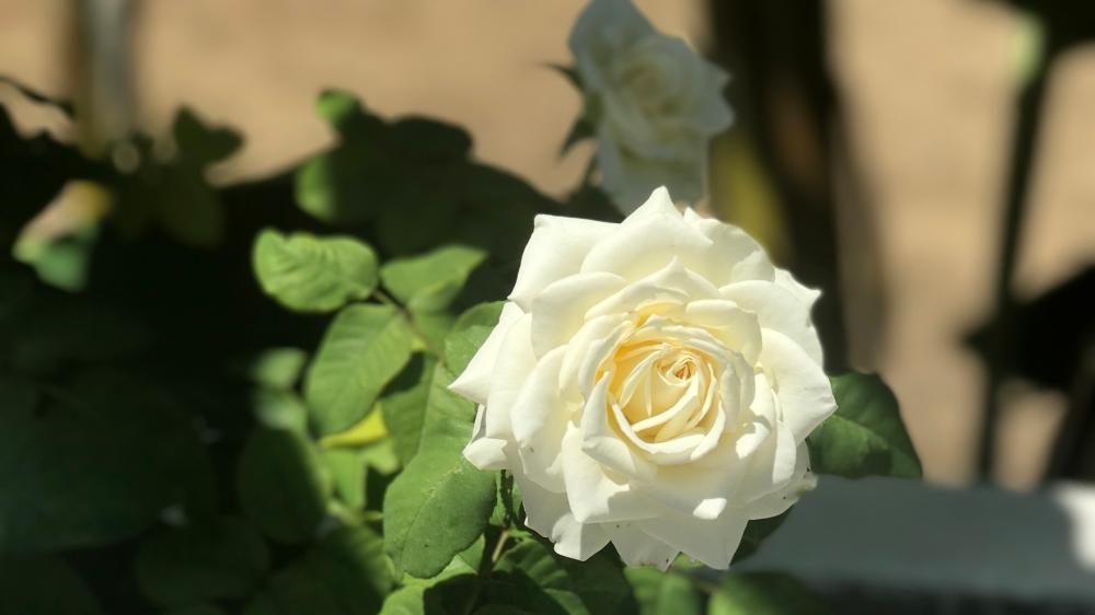 SageJoan_Kos_Rose_White