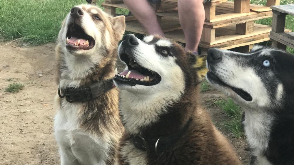 Husky_Camping_Dog_3