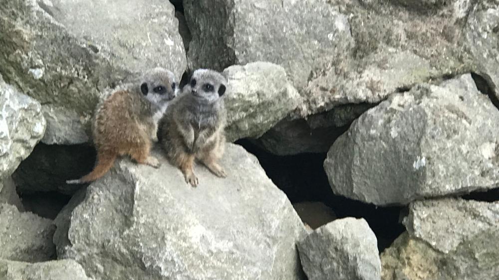 Husky_Camping_Meerkats