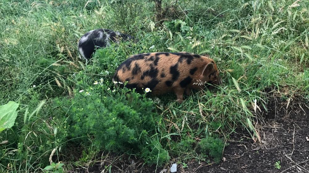 Husky_Camping_Piggles