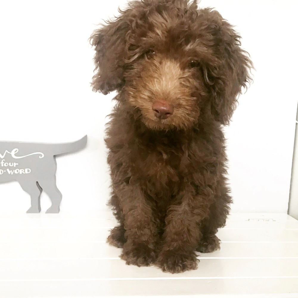 Cockapoo Puppy First Month